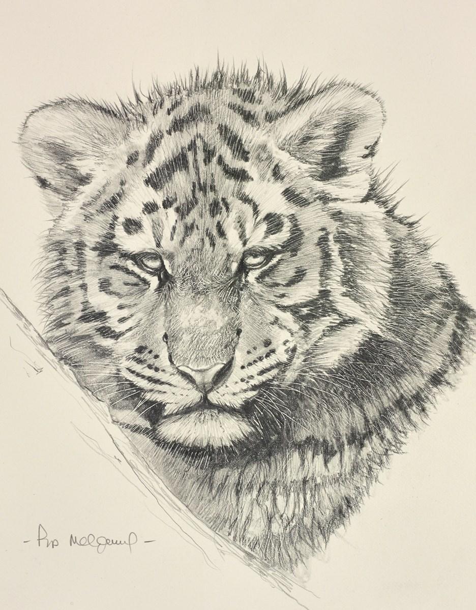 Siberian Tiger Cub Sketch