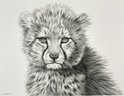 Cheetah Cub Study I by Darryn Eggleton -  sized 14x11 inches. Available from Whitewall Galleries